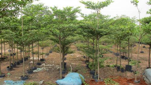 Bán cây bàng đài loan tại Bình Dương