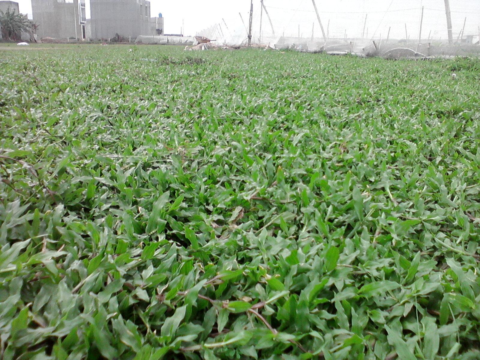 Dịch vụ trồng cỏ lá gừng ở Bình Dương
