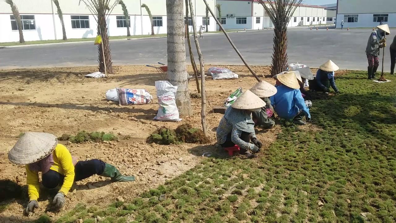 Dịch vụ trồng cỏ tại Bình Dương