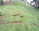 Dịch vụ trồng cỏ tại Bình Dương | Công ty cây xanh tại Bình Dương